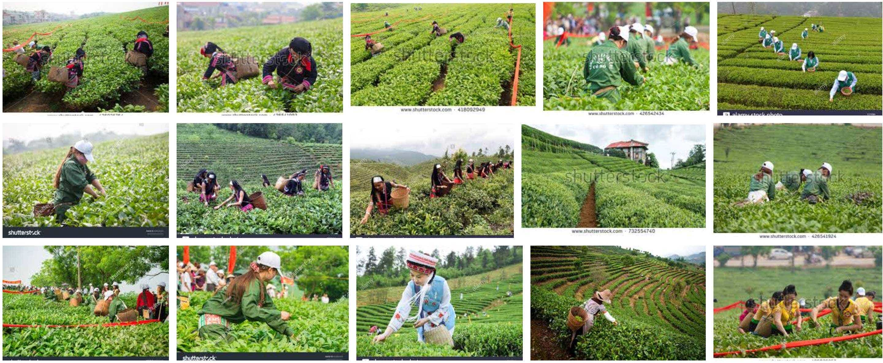 """google image search results 06-22-18 for """"tea farm stock photo china"""""""
