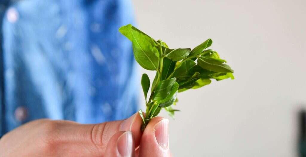 fresh picked Laoshan Suan Zao Ye