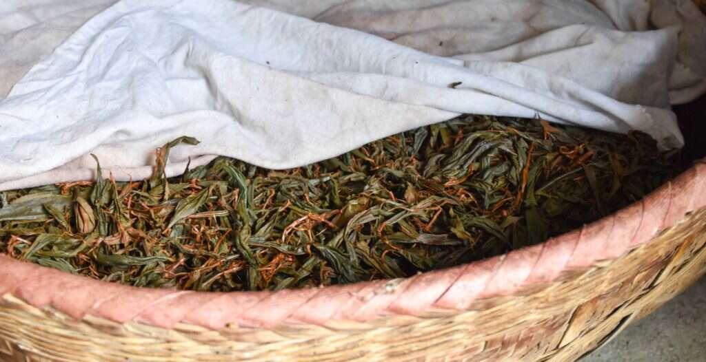 tea leaves oxidize slowy in the Li Family's workshop in Tongmu