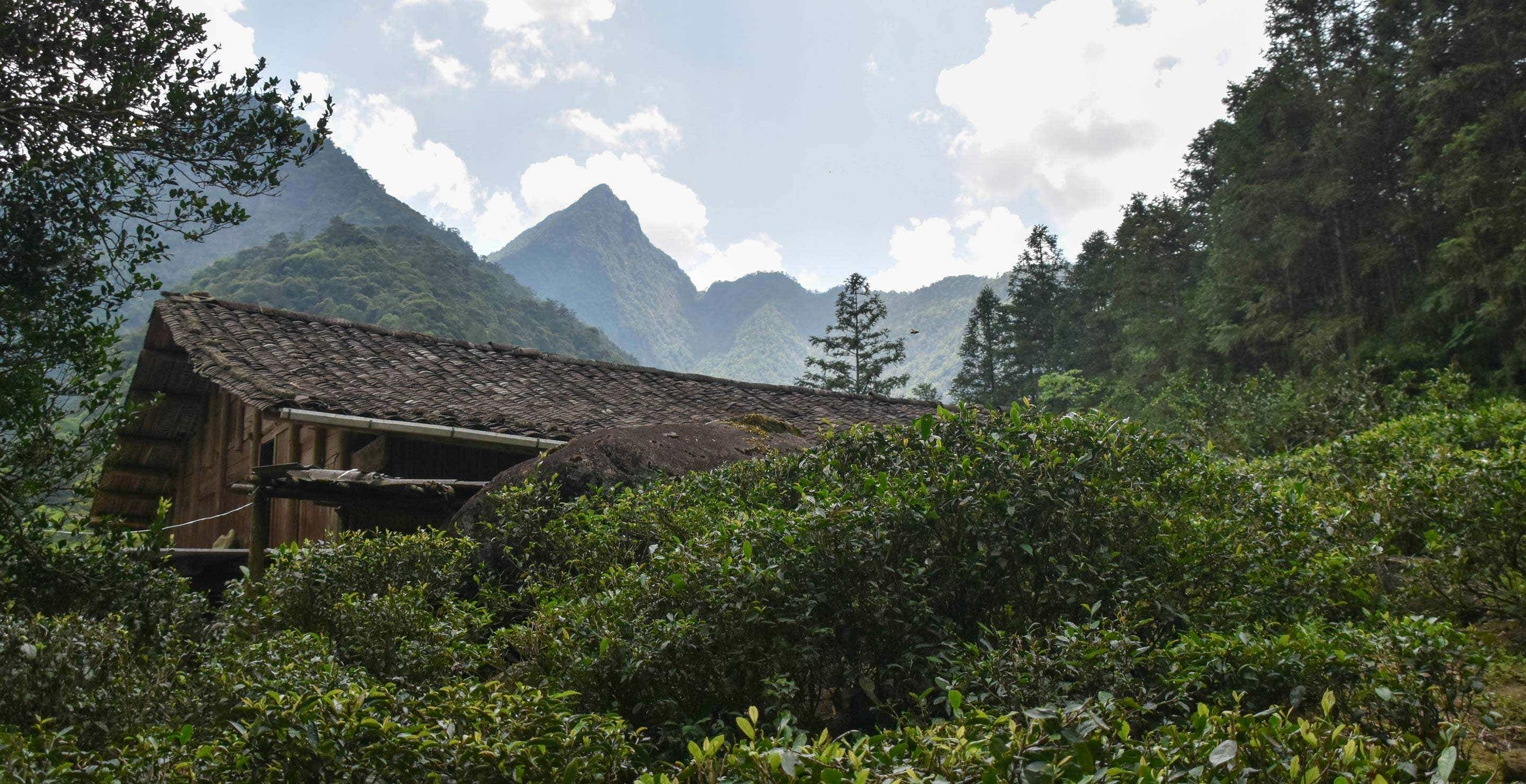 tea plants grow on the slopes above our family home in Tongmu
