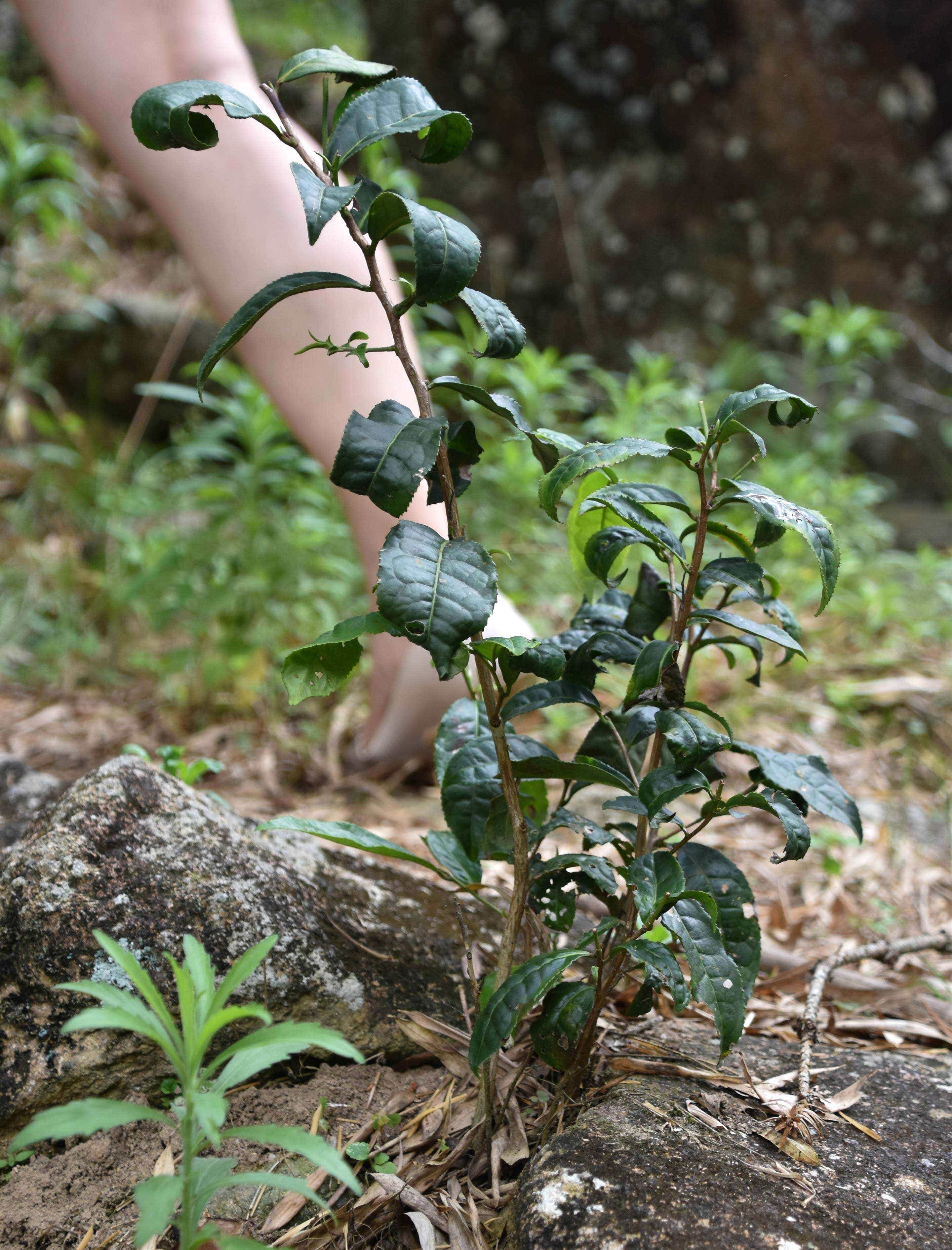 A tea seedlings grows out of the rocks in Tongmu