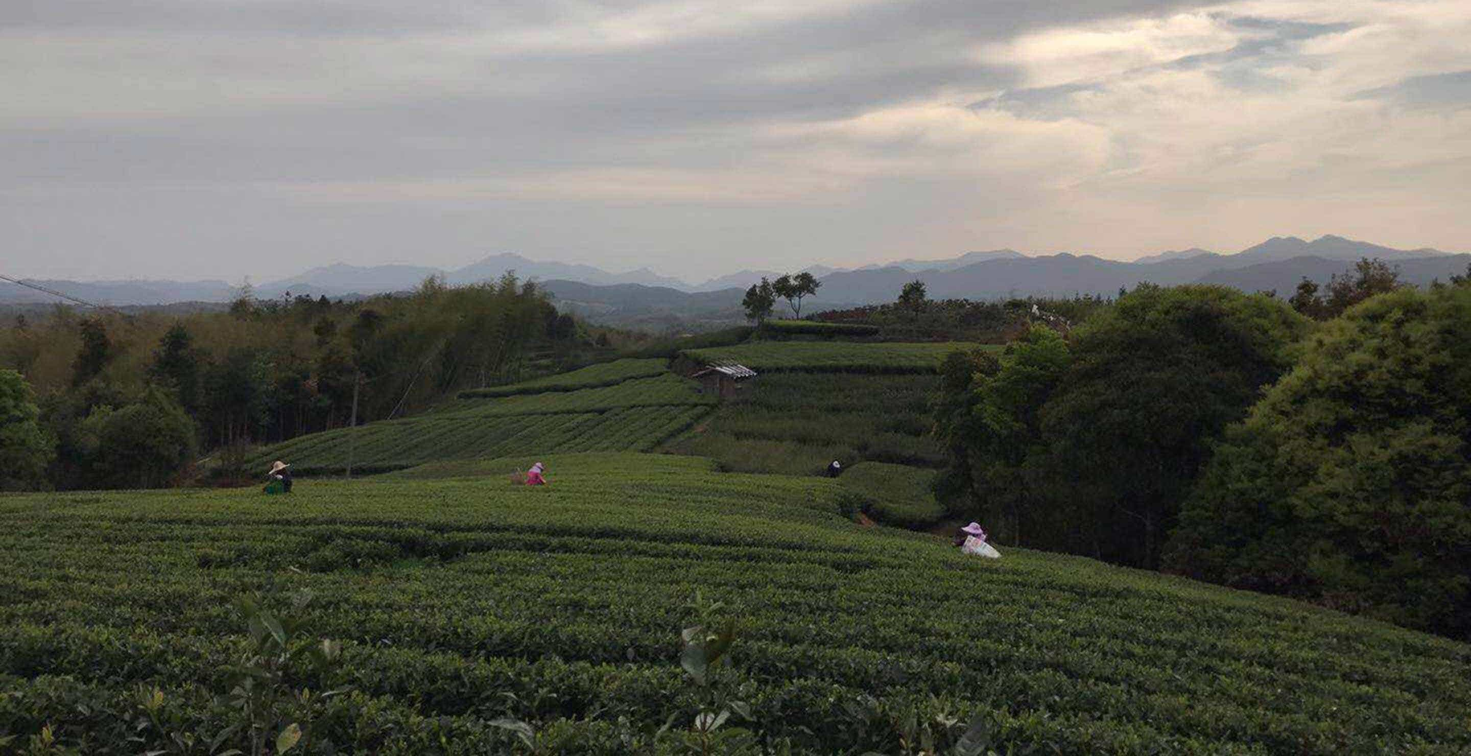 dense trees surround our cultivated tea fields