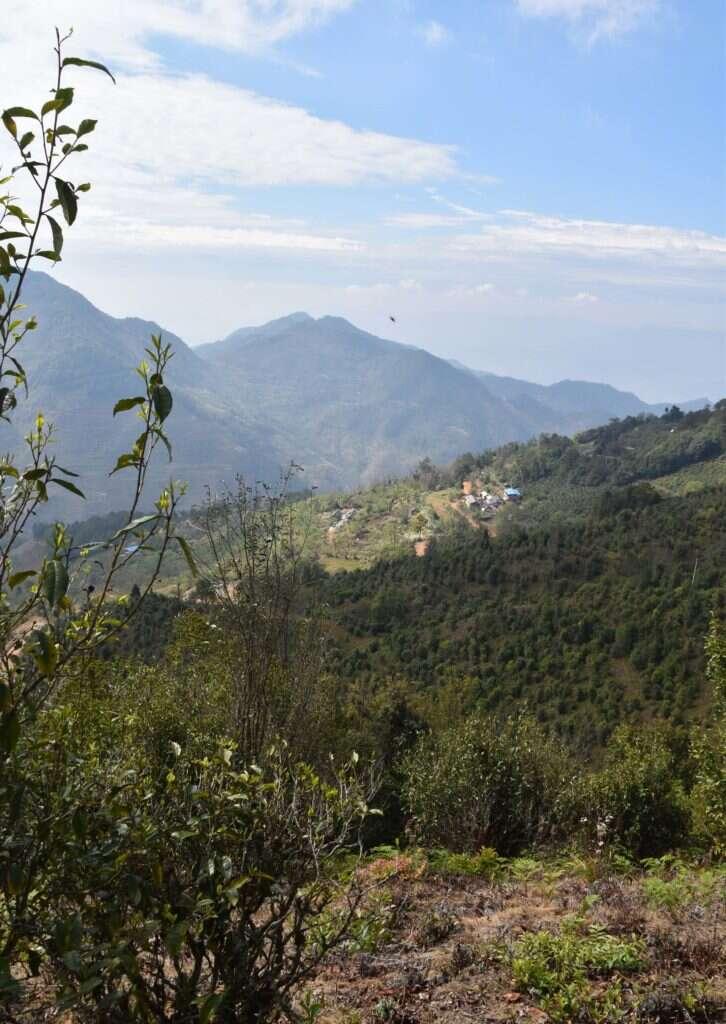 tea trees cover the mountainside