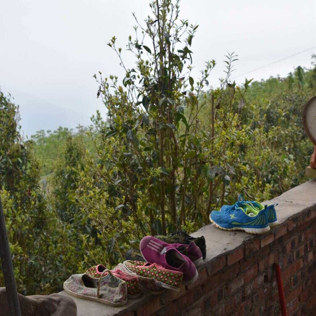 tea trees grow all down the mountainside behind the Li Family's home
