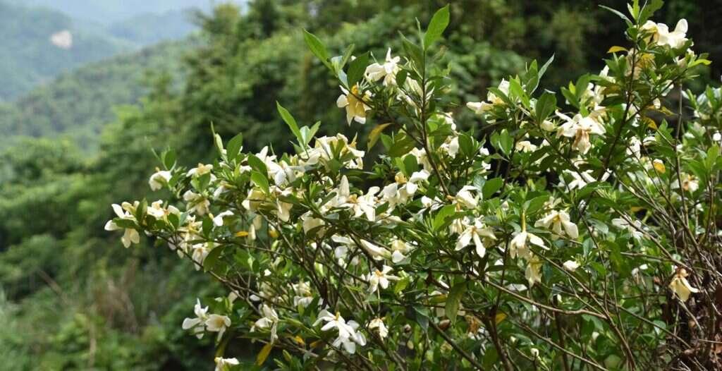 gardenias in bloom around the tea fields