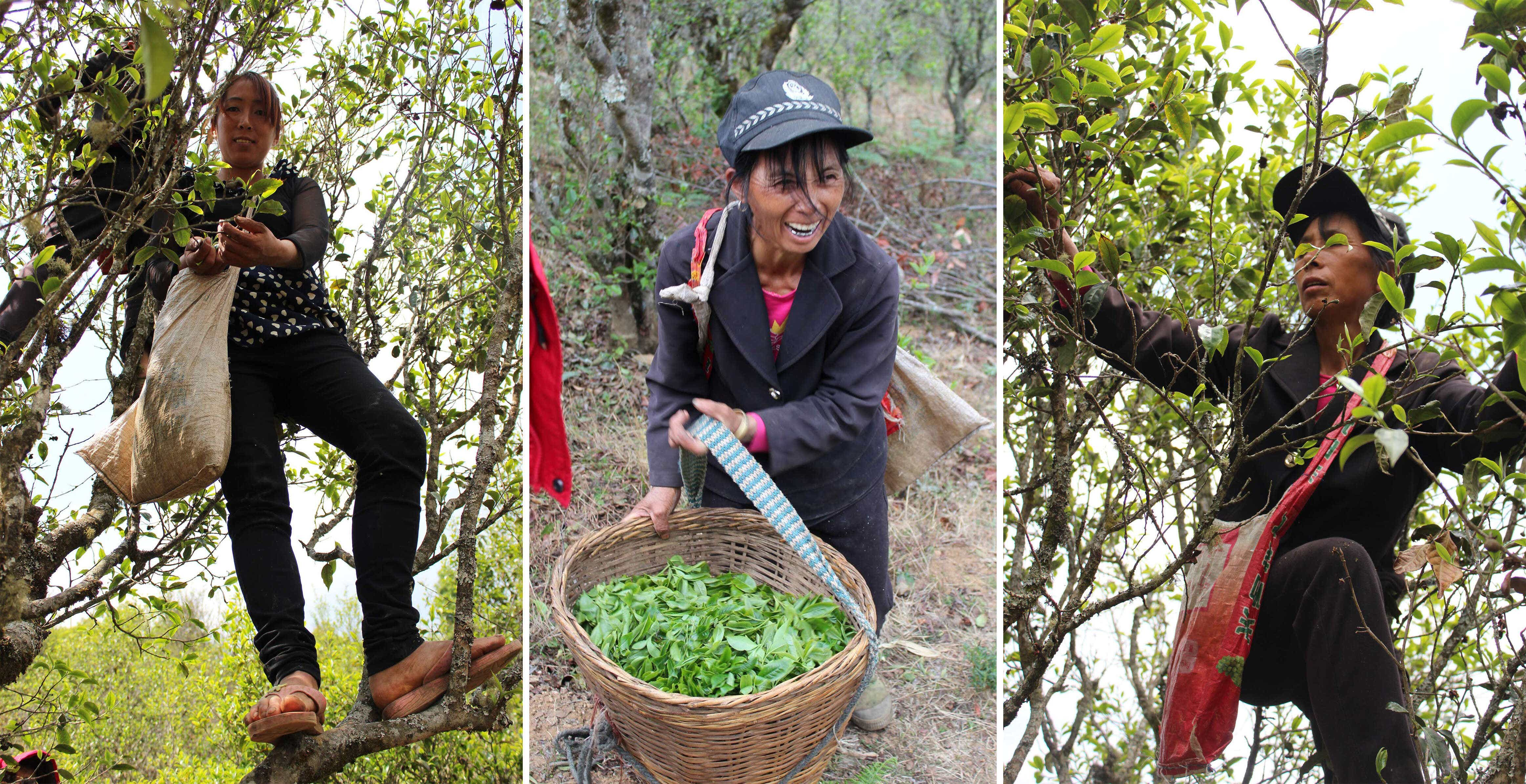 Ms. Li and her mother climb tea trees to forage spring leaves