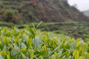 Daping Tieguanyin Tea Leaves-7321