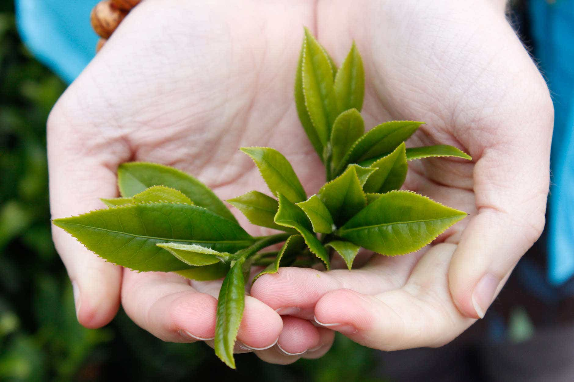 Daping Tieguanyin Tea Leaves Lily hand-7348